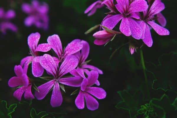 Diese Blume sieht nicht nur schön aus, sondern ist ein wahres Multitalent in punkto Menstruationsbeschwerden.
